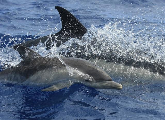 Short beaked common dolphin calf, Azores    photo artic al