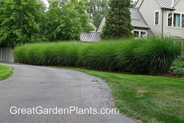 Lemon grass used as a hedge dream home landscape for Best tall grasses for privacy