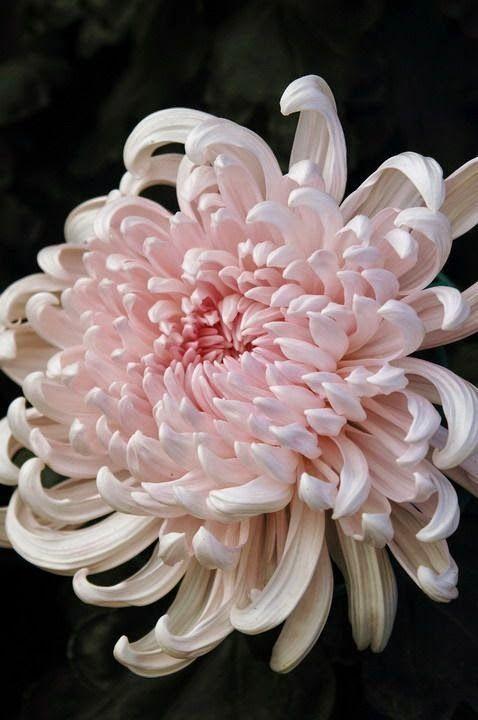 Japanese Chrysanthem Beautiful gorgeous pretty flowers