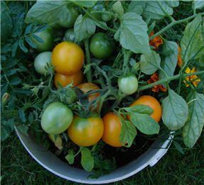 De eerste smaakvolle en kleurrijke kers)tomaten zijn eindelijk rijp! Foto 01: 'Fuzzy Wuzzy', een opvallend behaarde tomatenplant. (Foto 201...