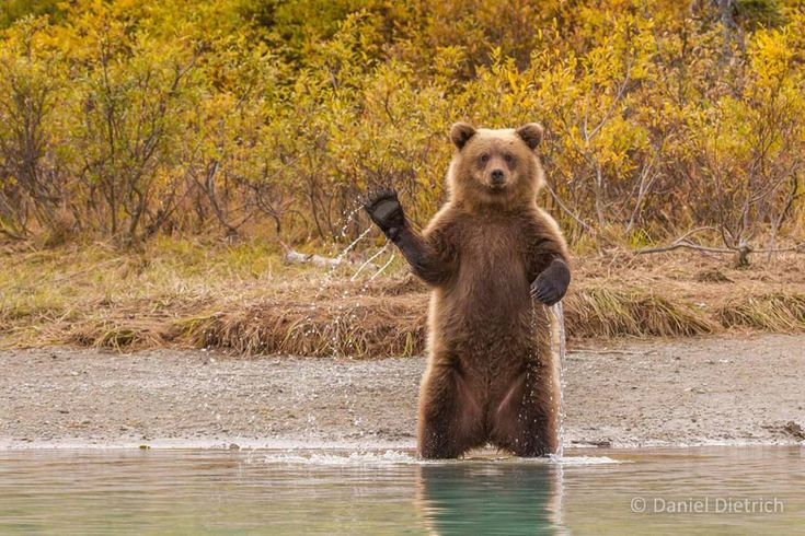 This young bear could become the leader of Alaska's welcoming committee.