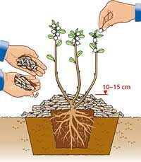 Plant blueberries properly