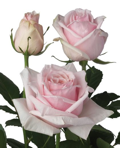 Parfumé de Grande - pastel pink - can be slightly darker in real life.  Beautiful natural fragrence that instensifies as rose opens.  Extra large bloom size, that is very full and much like an English garden rose.
