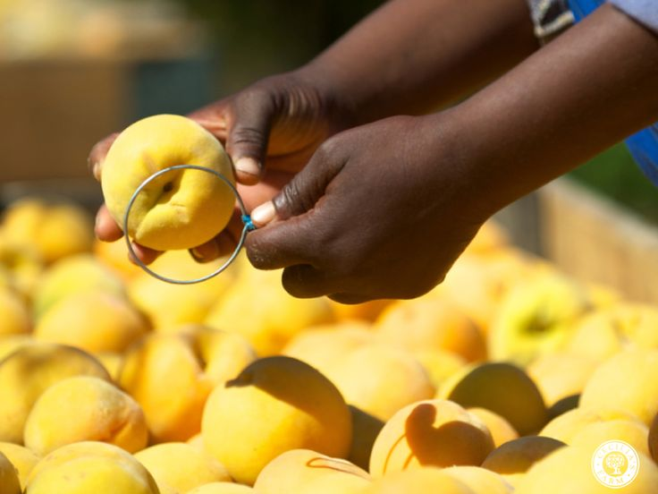 For this fruit to measure up to our world-class standards, farming methods have to be up to scratch. They need to be sustainable and focus on quality. www.ceciliasfarm.co.za
