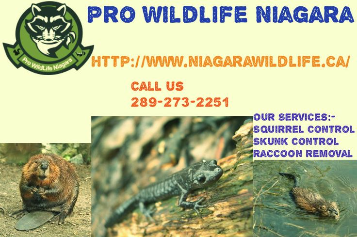 Pro Wildlife Niagara has devoted their lives to helping their customers and offering 'Do-It-Yourself' advice, free consultations and several other wildlife control and removal services keep wild pests out, interior and attic damage restorations, inspections, animal cleanup, and much more. The technicians and trappers of this company are fully insured and licensed to remove any pest in any area of a residential or commercial property.