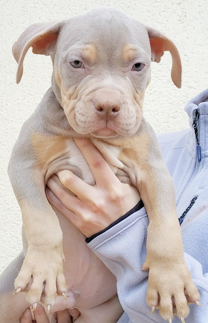 Pitbull Chiot Puppy Puppies American Bully Xl Xxl Bully Pitbull A