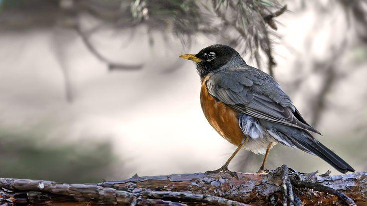 Birds of Quebec - Oiseaux du Québec Américan Robin - Merle d'Amérique by Roger Dan on 500px