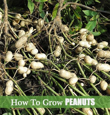 How To Grow Peanuts - They are easy to grow and do not require too much care.