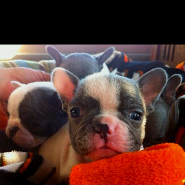Very rare Blue Pied French Bulldogs for sale! AKC & so cute!   Http://www.peppersfrenchbulldogs.com