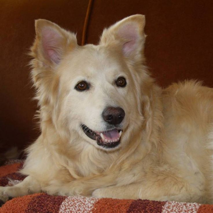 Gracie is a rescue dog that joined our family in the fall of 2015. The SPCA phoned us immediately upon arrival as they knew that we were looking for mature dog. She was obviously well cared for and loved as she had beautiful manners and listened well. She knew her 'new' name on the 2nd day. For several days I tried but was unable to locate her owners . On the 10th day, she officially joined our family. She is lovely, gentle, quiet and a joy to be around. Oh, and she wags her tail cons...