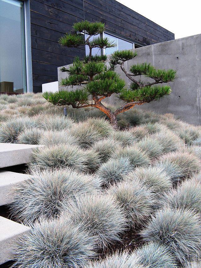 """Stylisch und trotzdem mit warmer Ausstrahlung. Die Stein-Kiefer im Wolkenschnitt ist in Mitteleuropa nicht ausreichend winterhart. Man nehme lieber Grannen-Kiefer (http://galasearch.de/plants/11935-pinus-aristata) oder einfach unsere Wald-Kiefer (http://galasearch.de/plants/11947-pinus-sylvestris). Dazu wie hier Blau-Schwingel """"Elijah Blue (http://galasearch.de/plants/11450-festuca-cinerea-glauca)."""