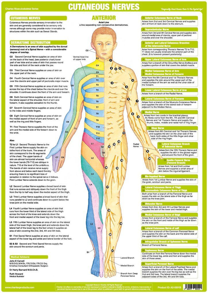 Cutaneous nerves anatomy chart anterior anatomy nerve anatomy
