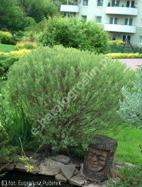 wierzba purpurowa 'Nana' - Salix purpurea 'Nana' | Katalog roślin - e-katalog roślin