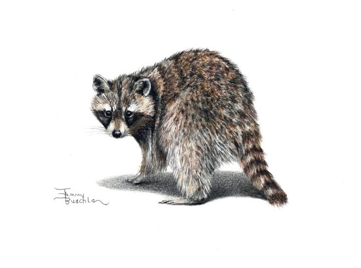 raccoon pencil drawing by Tammy Buechle! | Art I Love ... Raccoon Drawing