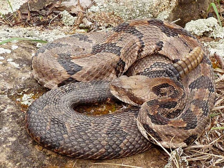 73 best Rattlesnakes images on Pinterest
