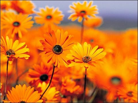 Namaqualand daisies, Northern Cape. South Africa.