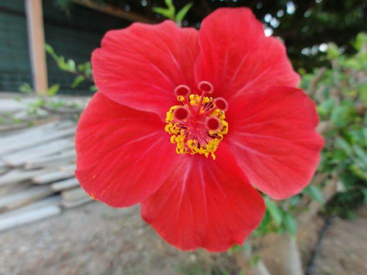 hibiscus in Kato Stalos
