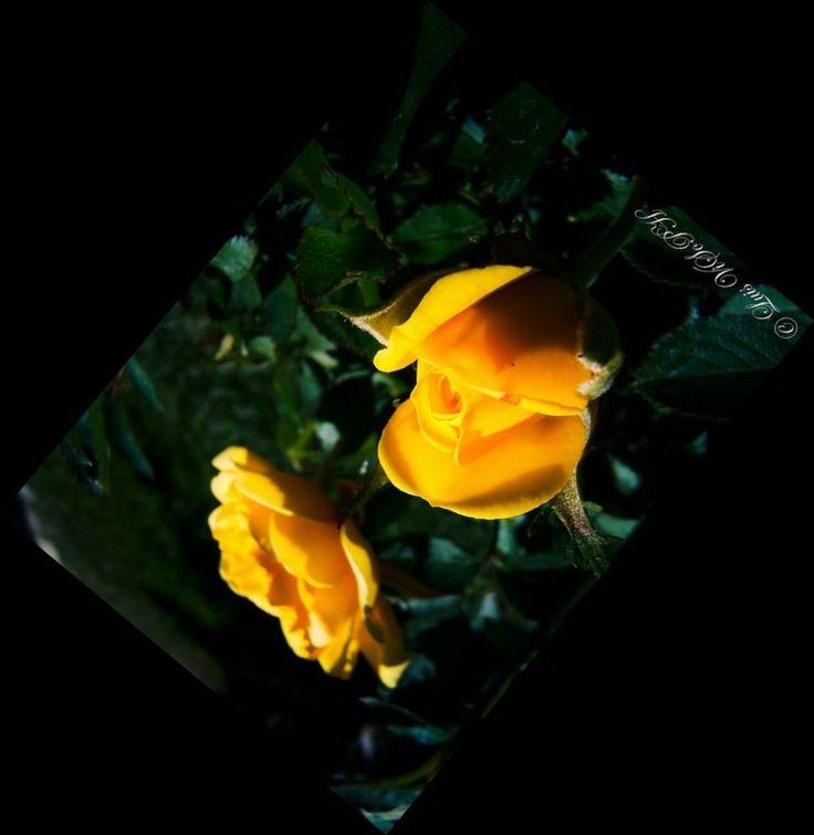 Mini rosas amarillas.
