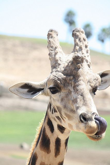 A giraffe's tongue is 18-20 inches long. Long enough to do this. #Yum
