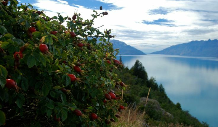 Rosehips seed pods along a lake near La Junta | from The Bicycle Nomad http://bicyclenomad.com/2012/03/15/chile-villa-santa-lucia-to-villa-ohiggins-protests-and-hospitality-on-the-carretera-austral/
