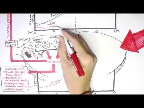Female Reproductive System - Menstrual Cycle, Hormones and Regulation - YouTube
