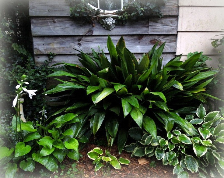 Cast Iron Plant Outdoor Spaces Pinterest Plants Gardens And Planting