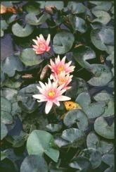 Water Lily Dwarf Little Sue - Bare Root Plant