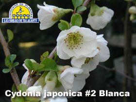 AG-Cydonia japonica 2 Blanca 1a copia.jpg (280×210)
