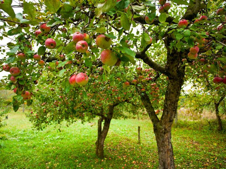 fruit trees - Google zoeken