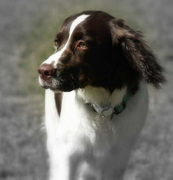 Kelly was a dog that I adopted through English Springer Rescue.  This photo was used on one of their fund raising calenders.  This photos was used for September.  So forever, Kelly will be knows as Miss September <3