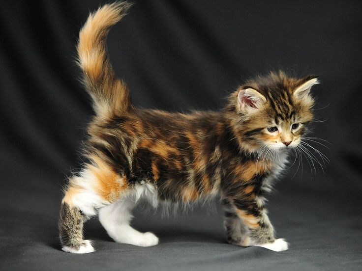 I WILL have another Maine Coon some day...they are so sweet i love maine coons…