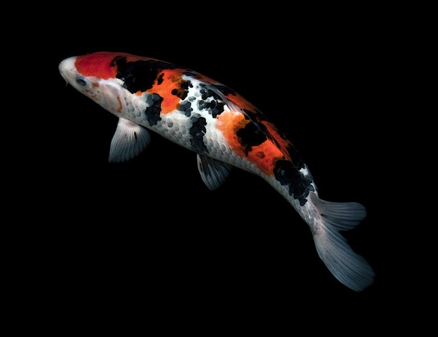 speckled sanke by scarletblack via flickr koi