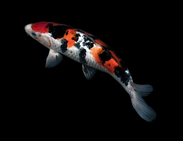 Speckled sanke by scarletblack via flickr koi for Sanke koi fish