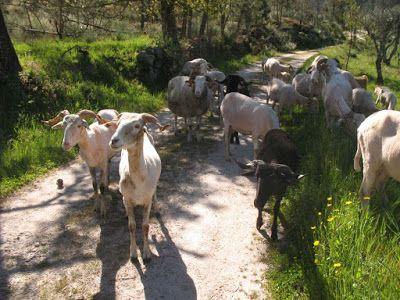 LUIS DESENHA: A tosquia das ovelhas anuncia que o frio terminou....