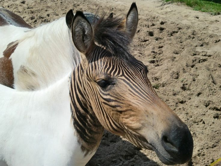 Zorse, A Zorse (Zebra + Horse). Photo by Christine und David Schmitt.  Zebroids are a variety of zebra hybrids, and these hybrids have dozens of different names.    A zebra stallion and a horse mare will produce a zorse or zebrula; a zebra stallion and a pony mare will produce a zony; and a zebra crossed with a donkey is often called a zonkey or zedonk, among other names.