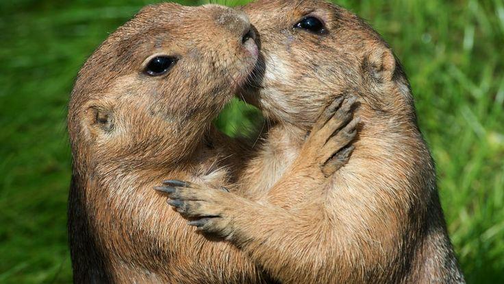 Prairiehonden doden regelmatig eekhoorns zonder de wil om ze op te eten, stellen onderzoekers aan de Universiteit van Maryland.