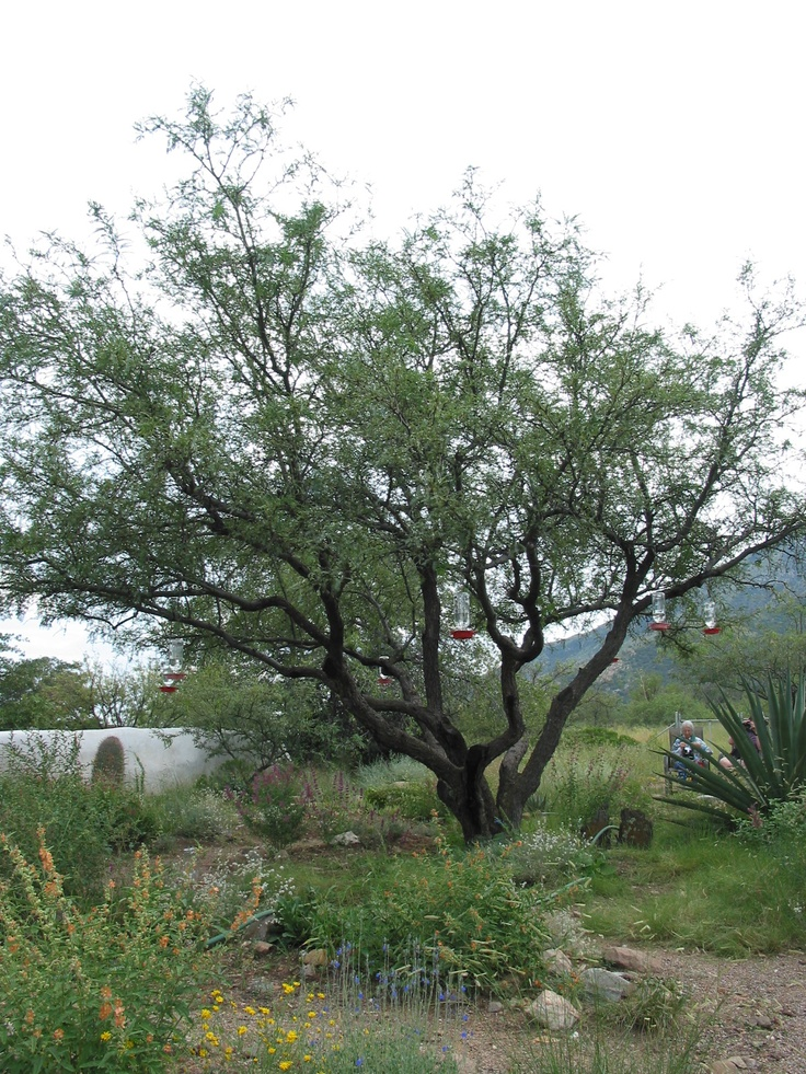 Mesquite is a leguminous plant of the Prosopis genus found in northern Mexico and the Southwestern United States. Several species are found in arid to semi-arid regions of southern and western South America.
