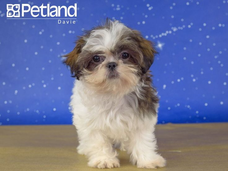 Petland florida has shih tzu puppies for sale interested