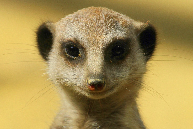 Portrait of a young meerkat by Rainer Leiss, via 500pxRainer Leiss