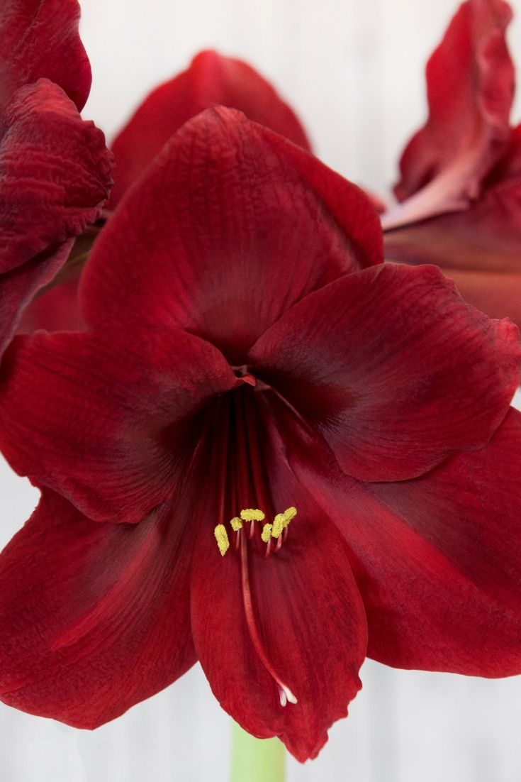 Jump Start The Amaryllis Season With Early Blooming Bulbs From Peru This Variety Has Big 6 To 7 Flowers With Velvety Amaryllis Flower Pictures Flower Garden