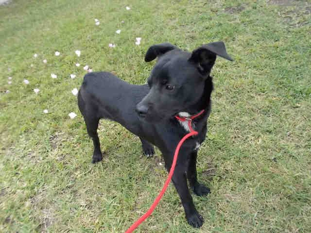 05/06/17-ROSENBERG, TX - FOSTER NEEDED!!!   This DOG - ID#A010923    I am a male, black and white Chihuahua - Smooth Coated mix.    The shelter staff think I am about 1 year and 1 month old.    I have been in shelter care since Apr 21, 2017.    This information was refreshed 1 minutes ago and may not represent all of the animals at the Fort Bend County Animal Services Shelter.
