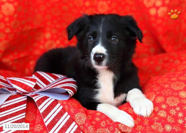 Border Collie Puppy for Sale in Pennsylvania