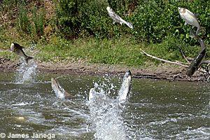 http://www.dnr.state.mn.us/invasives/aquaticanimals/asiancarp/index.htmlCarpe Above, North America, Low Sets Eye, Aquatic Animal, Bighead Carpe, 110 Pound, Filters Feeding, Carpe Jumping, Large Filters
