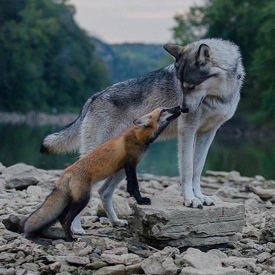 "7,928 Gostos, 79 Comentários - @worldofwolves no Instagram: ""By @afoxandthewolf #photography #shoutout"""