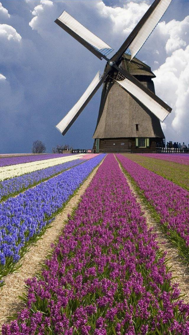 Windmill and Flowers in the Netherlands