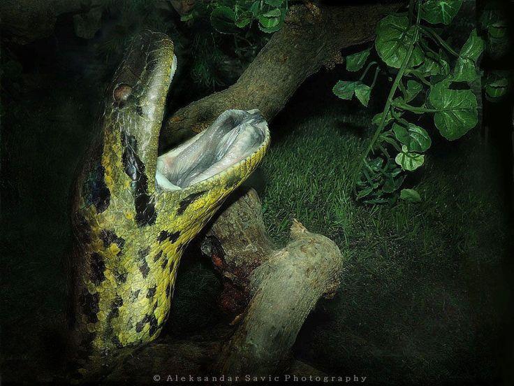 Green anaconda (Eunectes murinus).