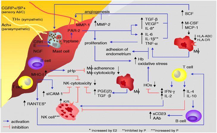 Desi etiologia precisa a endometriozei este neclara, in genera, se considera ca implica mai multe procese. Sistemul imunitar ar putea fi un sistem de regle...