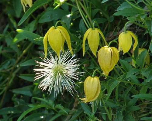 Yellow Clematis    www.backyarddiva.ca  Planted this one with Blue Bird to combine their contrasting colours