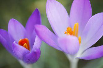 Bloemen, witte bloemen, gele bloemen, paarse bloemen, lentebloem, lentebloemen, welke bloem, flower, flowers, spring, spring flowers, photo, photos, photography, bloem, bloemen, soorten bloemen, bloemensoorten, lente, lentebloemen, krokus, bosanemoon, bos - Butterfly & Nature Photography
