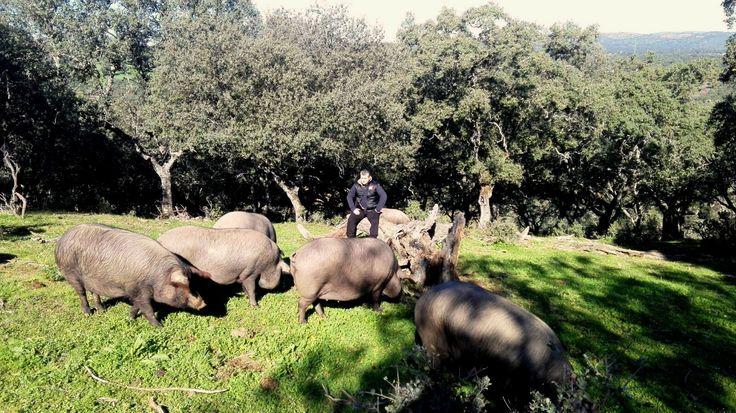 Cerdos ibéricos en la dehesa cordobesa